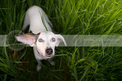 humorous white dog with ear looking upward from grasses