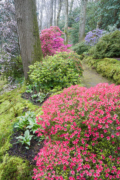 Woodland walk below mature oaks, carpeted with emerald moss, framed by  evergreen Kurume azaleas including forms of Rhododendron obtusum (magenta) and R. x multiflorum (lavender). Beside the path are some of the National Collection of erythroniums, dogs tooth violets. Greencombe Garden, Porlock, Somerset, UK
