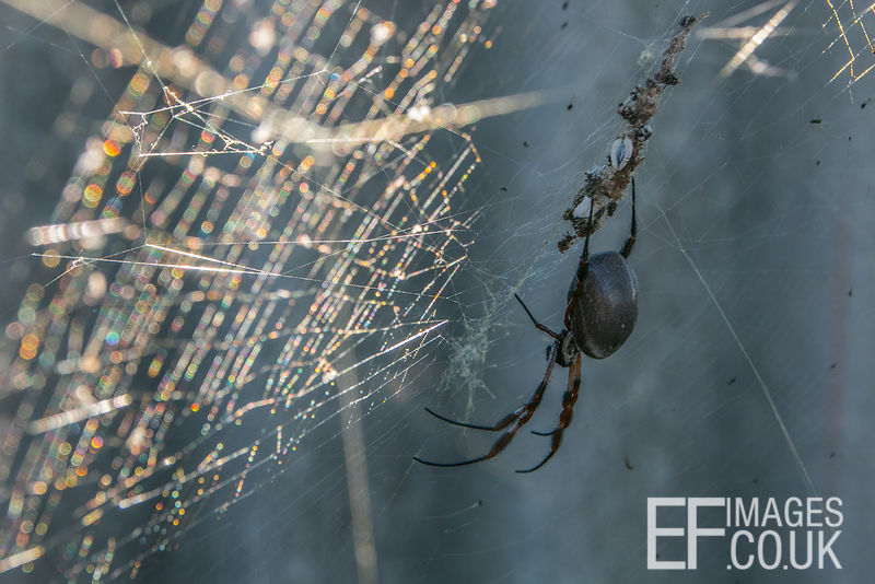 Golden Orb Weaver Spider With Gold Web