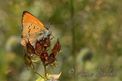 Scarce Copper (Lycaena virgaureae) photos