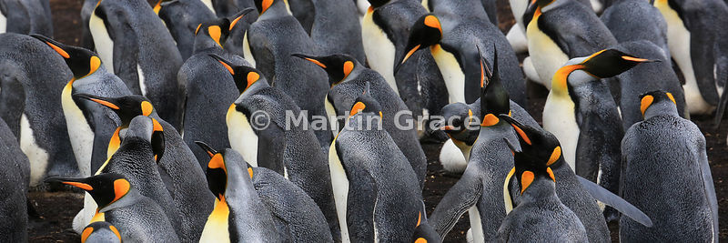 King Penguin (Aptenodytes patagonicus) colony, Volunteer Point, East Falkland, Falkland Islands