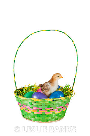 Baby Chick in Easter Basket