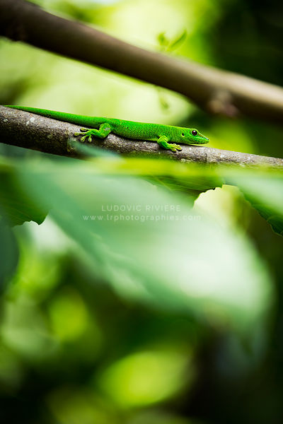 green gecko in the foliage of a tree, Nosy Komba