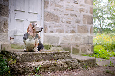 senior basset hound dog sitting on stoop at stone house in summer