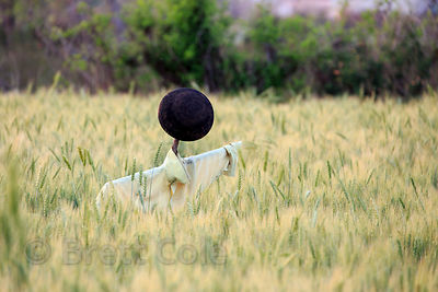 Scarecrow in a wheat field, Pushkar, Rajasthan, India