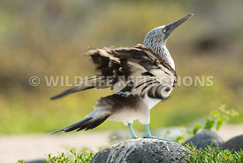 blue_footed_booby_north_seymour-24