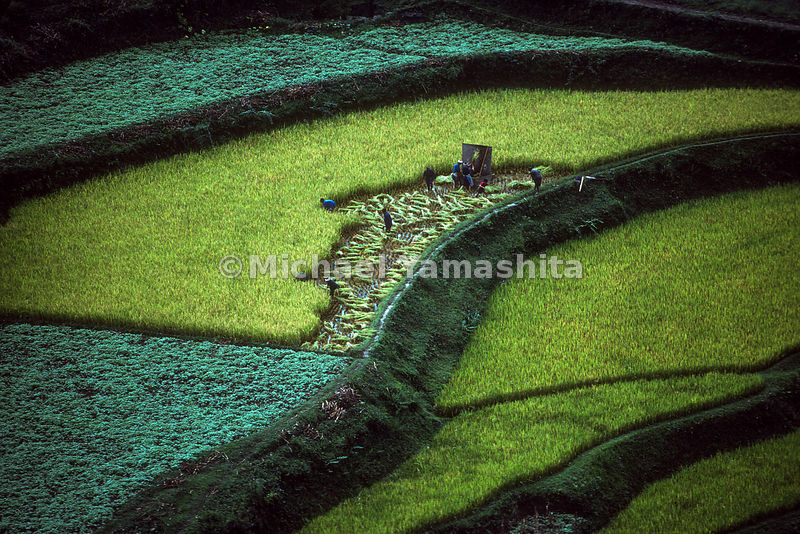 Workers harvest rice..Guizhou, China