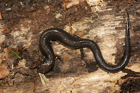 Plethodon richmondi