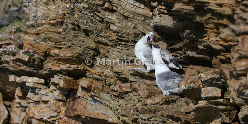 Aggressive display between pair of nesting Northern Fulmars (Fulmarus glacialis), Hermaness National Nature Reserve, Unst, Shetland