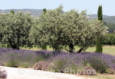 Regional Park of Luberon in Provence Lavender