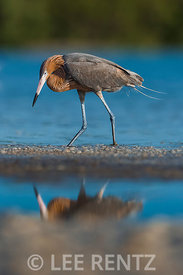 Reddish Egret Foraging at Tigertail Beach Park
