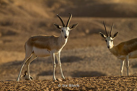Two Sand Gazelles grazing through the desert of the Sir Bani Yas Island wildlife reserve.
