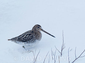 Common Snipe Gallinago gallinago in snow Salthouse North Norfolk February