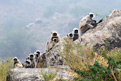 Troop of langur monkeys in the rocky Aravali Mountains, Ajaypal, Rajasthan, India