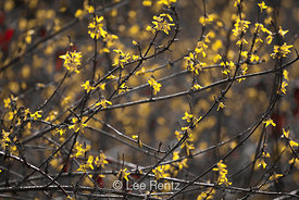 Forsythia blooming in Seattle's Arboretum
