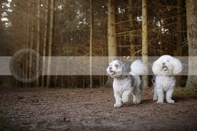 two little fluffy groomed dogs standing in tunnel of pine trees