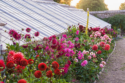 Dahlia border beside restored Victorian greenhouses. Clovelly Court, Bideford, Devon, UK