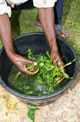 Farmer mixing herbs in a bowl to give to a cow which is ill. Kenya.