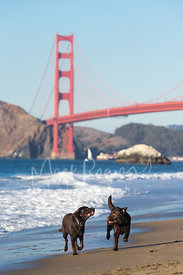 Two Labrador Retrievers Running with Stick near Golden Gate Bridge
