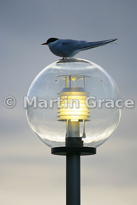 Global Warming - Arctic Tern (Sterna paradisaea) at Longyearbyen, Svalbard, Norway
