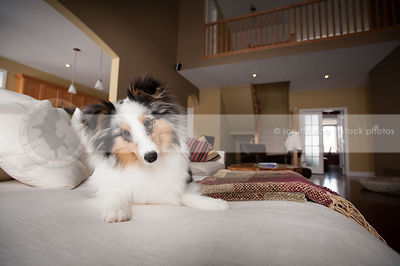 curious beautiful sheltie dog with head tilt lying on sofa at home indoors