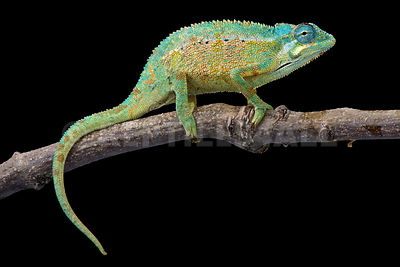 Elliot's Chameleon (Trioceros ellioti) photos