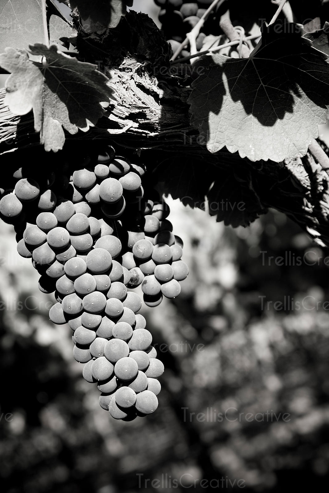 Ripe clusters of pinot noir grapes hang on the vine