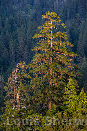 Tall Ponderosa Pines over Yosemite