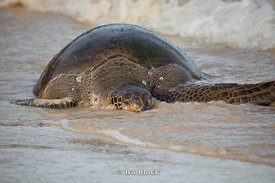 A sea turtle comes in with the tide to Floreana Island.