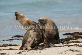 sea_lion_australian_skirmish-1