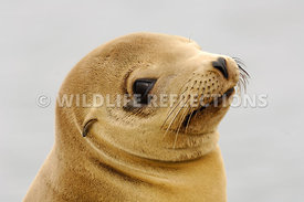 California Sea Lion Golden Pup Look