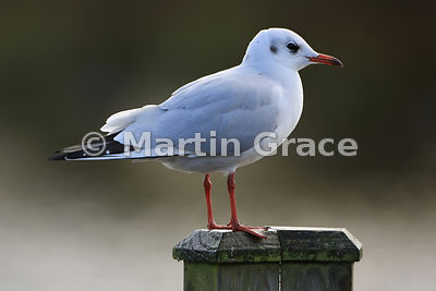 Black-Headed Gull (Larus ridibundus) in adult non-breeding (winter) plumage, Lancashire, England