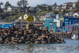 California Sea Lions in Yaquina Bay in Newport, Oregon