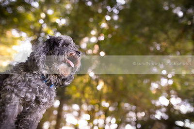 low angle stock photo of little grey groomed dog in backlit forest
