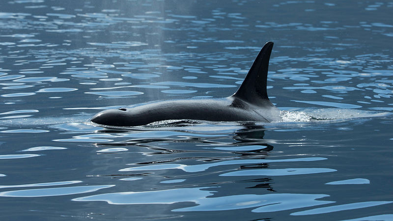 Orca in repose in the calm waters of the Johnstone Strait, off British Columbia in the famed Blackfish Sound, home to several pods of resident killer whales.
