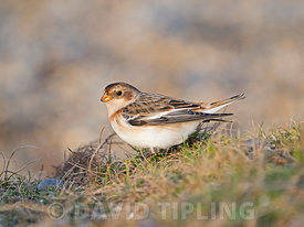 Snow Bunting Plectrophenax nivalis Salthouse North Norfolk winter