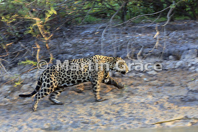 An image with intentional motion blur as the male Jaguar (Panthera onca) known as Marley moves rapidly up the riverbank, River Cuiabá, Northern Pantanal, Mato Grosso, Brazil