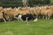Collie dog rounding sheep up