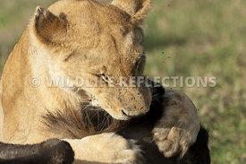 lioness_suffocating_wildebeest_8