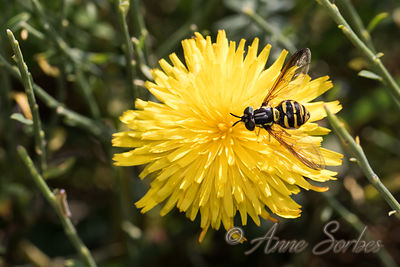 Hoverflies (Syrphidae) photos