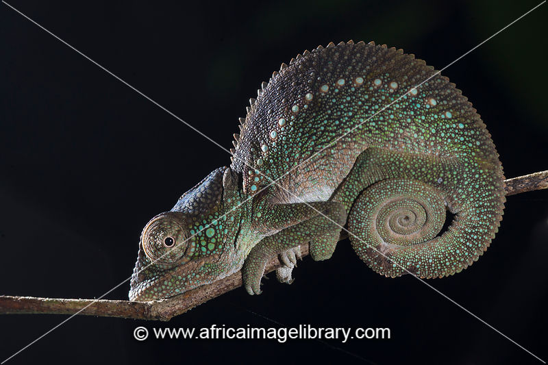 Oustalet's Chameleon, Furcifer oustaleti, Manafiafy Beach and Rainforest Lodge, Sainte Luce Bay, Madagascar