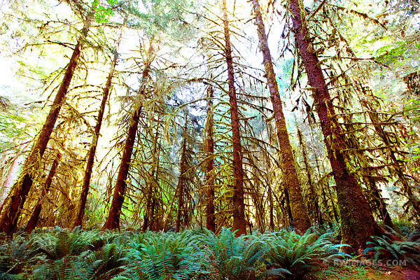 HOH RAINFOREST OLYMPIC NATIONAL PARK COLOR