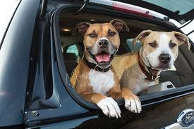 Two pit bull mix dogs leaning out of a car tailgate window