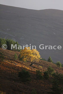 Sunlit autumnal birch tree (Betula sp) in Glen Feshie, with Scots Pines behind, Inverness-shire, Scotland