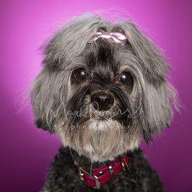 Grey Schnauzer-Mix with Bow in Hair Against Purple Background