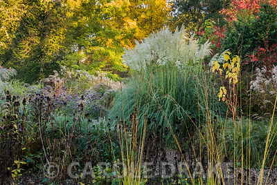 Cortaderia 'Sunningdale Silver' framed by red leaved euonymus, yellow tints of the tulip tree Liriodendron tulipifera, spikey monkey puzzle tree Araucaria araucana, grasses including feathery flowerheads of miscanthus and echinacea seedheads. Knoll Gardens, nr Wimborne, Dorset, UK