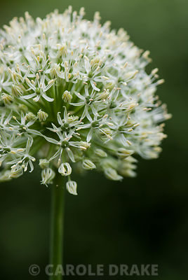 Allium 'Mount Everest'. Beechenwood Farm, Odiham, Hants, UK