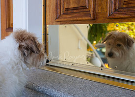 Senior Jack Russell Terrier Looking at Reflection in Door
