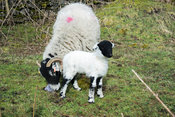 Newborn Swaledale lamb, with mother, Yorkshire, UK