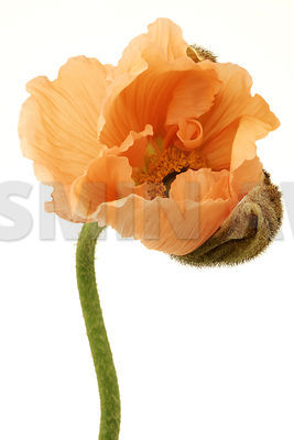 Budding Poppy